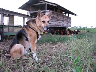 three legged farm dog