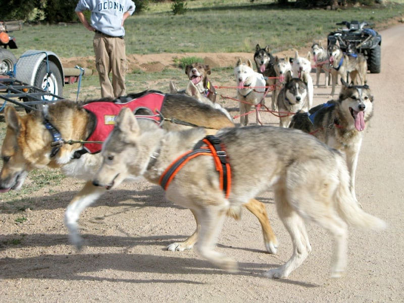 three legged sled dogs